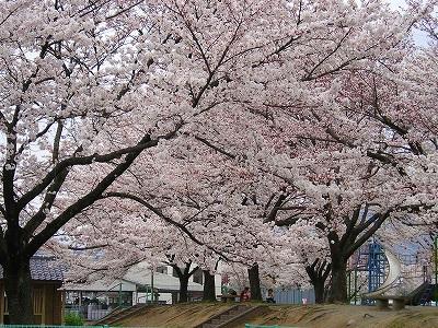地場産 桜1.jpg
